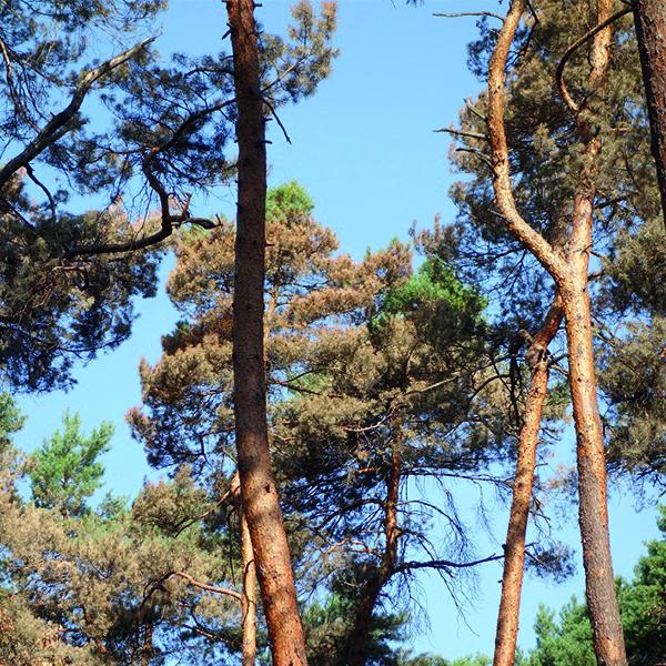 Kiefern im Wald